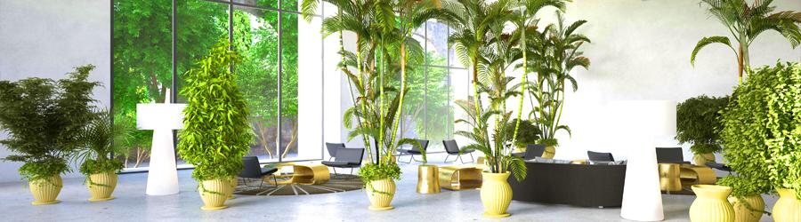 Onomea Indoor Plants